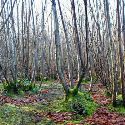 Some coppiced birch trees